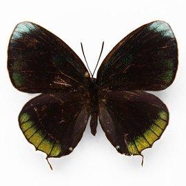 Lycaenidae Theorima eumenia ssp M A1