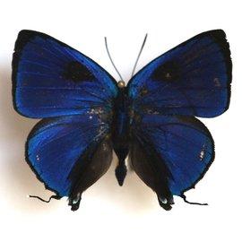 Lycaenidae Panthiades pelion M A1