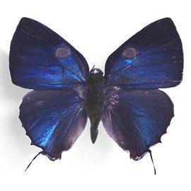 Lycaenidae Thecla bitias M A1