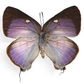 Lycaenidae Rekoa meton ssp M A1