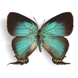 Lycaenidae Thecla monica F A1 Argentina
