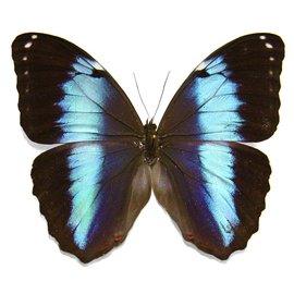 Morphidae Morpho achilles fagardii (=M. patroclus orestes) M A1 Peru