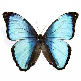 Morphidae Morpho deidamia f. electra M A1 Bolivia