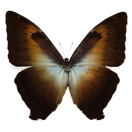 Morphidae Morpho cisseis gahua/phadena blue/orange Mix M A1 Peru