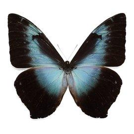 Morphidae Morpho cisseis cisseistricta M A1- Bolivia