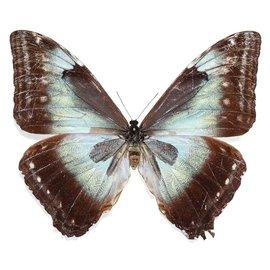 Morphidae Morpho cisseis cisseistricta F A1- Bolivia
