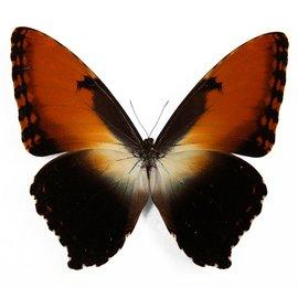 Morphidae Morpho hecuba hecuba M A1/A1- Peru