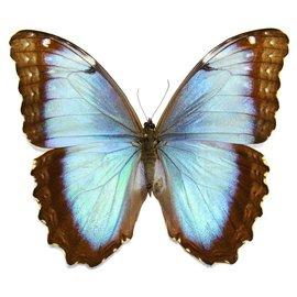 Morphidae Morpho peleides limpida F A1 Costa Rica