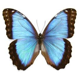Morphidae Morpho peleides limpida M A1- Costa Rica