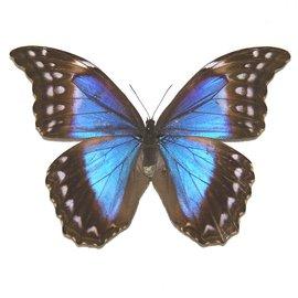 Morphidae Morpho didius F A1 Peru