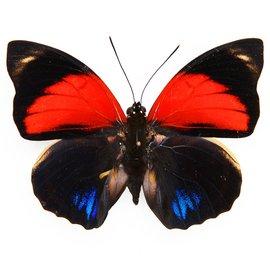 Nymphalidae Agrias amydon tryphon M A1 Peru