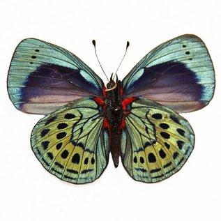 Nymphalidae Asterope leprieuri leprieuri M A1 Peru