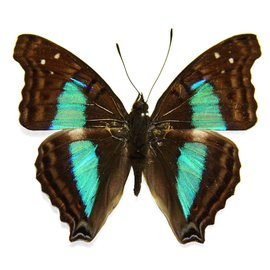 Nymphalidae Doxocopa cherubima M A1 Bolivia