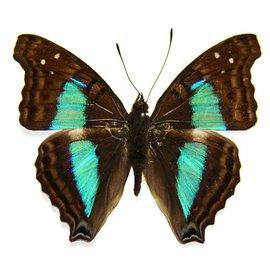 Nymphalidae Doxocopa cherubima M A1 Peru
