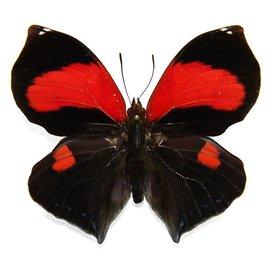 Nymphalidae Siderone mars M A1 Peru