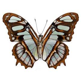 Nymphalidae Siproeta (Victorina) stelenes M A1 Peru