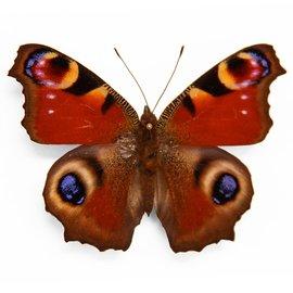 Nymphalidae Inachis io M A1- Belgium