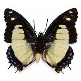 Nymphalidae Charaxes nobilis M A1 RCA