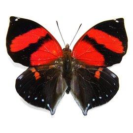 Nymphalidae Siderone galanthus M A1 Peru