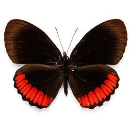 Nymphalidae Biblis hyperia hyperia M A1 Peru