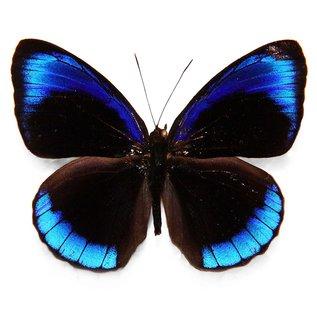 Nymphalidae Eunica MIX M A1 Peru
