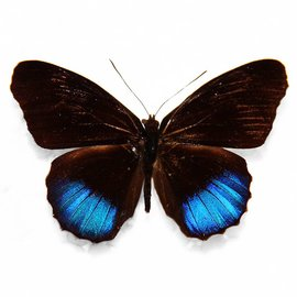 Nymphalidae Eunica norica M A1 Peru
