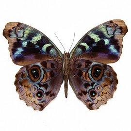 Nymphalidae Eunica volumna celma M A1 Peru