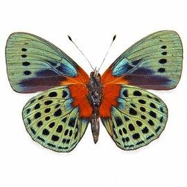 Nymphalidae Asterope (Callithea) adamsi Peru