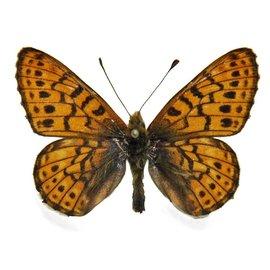 Nymphalidae Boloria astarte astarte M A1/A1- Canada