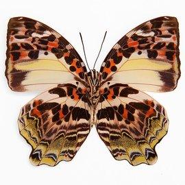 Nymphalidae Agatasa calydonia munda F A1 Indonesia
