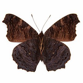 Nymphalidae Roddia (Nymphalis) milberti furcillata M A1 Canada