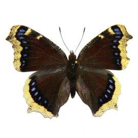 Nymphalidae Nymphalis antiopa hyperborea M A1/A1- Canada