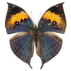 Nymphalidae Kallima inachus M A1 China