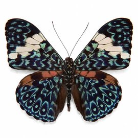 Nymphalidae Hamadryas arinome arinome M A1 Peru