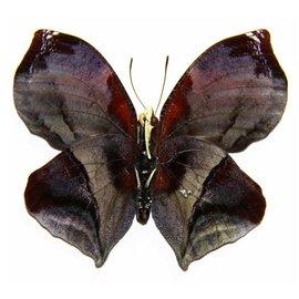 Nymphalidae Siderone thebias M A1 Peru