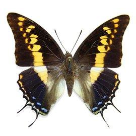 Nymphalidae Charaxes castor F A1 RCA