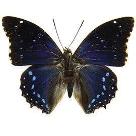Nymphalidae Charaxes mixtus M A1 RCA