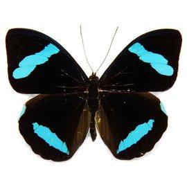 Nymphalidae Nessaea hewitsoni M A1 Peru