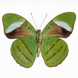 Nymphalidae Nessaea obrinus PAIR A1 Peru
