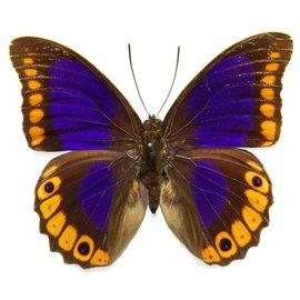 Nymphalidae Prepona brooksiana M A1