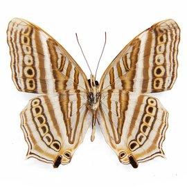 Nymphalidae Cyrestis acilia harterti M A1 Indonesia