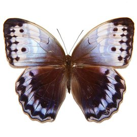 Amathusidae Stichophthalma camadeva camadevoides M A1 India