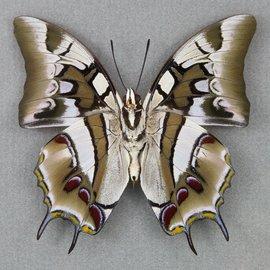 Nymphalidae Polyura cognatus M A1 Sulawesi