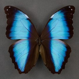 Morphidae Morpho deidamia neoptolomous M A1 Peru