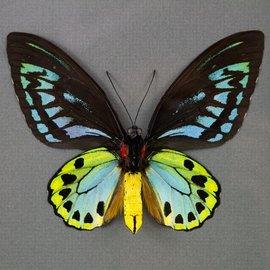 Ornithoptera and Trogonoptera Ornithoptera priamus urvillianus f. flavomaculata F A1 PNG