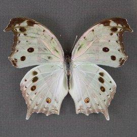 Nymphalidae Salamis parhassus M A1/A1- RCA