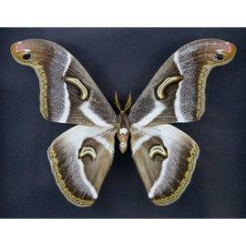 Saturnidae Epiphora rectifasciata M A1- Cameroon