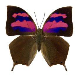 Nymphalidae Memphis (=Anaea=Fountainea) nessus M A1 Peru
