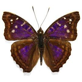 Nymphalidae Doxocopa agathina M A1 Peru