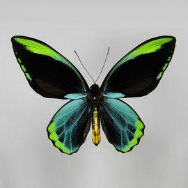 Ornithoptera and Trogonoptera Ornithoptera allotei PAIR A1- Indonesia